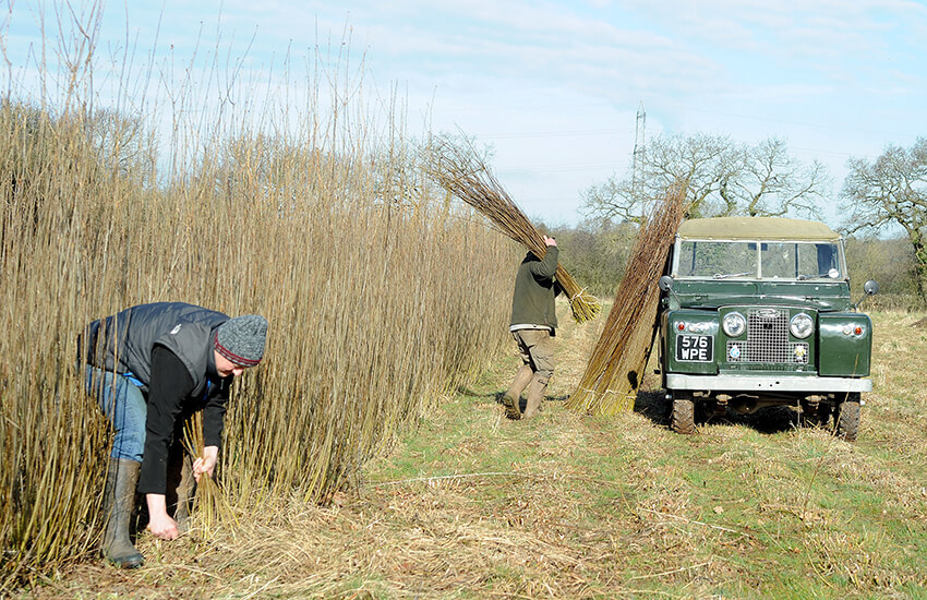 Collecting willow from the field